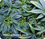 Marijuana cannabinoids found to help combat autism