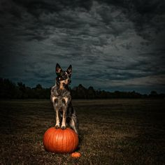 {Pack} Sheila the Australian Cattle Dog