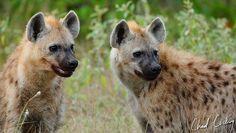 Pair of Hyenas. Motswari Game Preserve.
