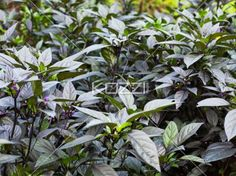 close-up shot of plants. - Detailed shot of plants with leaves.