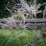 Miskant chiński 'Ghana' · Miscanthus sinensis do połączenia z hortensją bukietową tardiva Ghana, Dandelion, Herbs, Flowers, Plants, Dandelions, Herb, Plant, Taraxacum Officinale