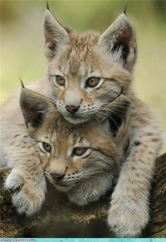 lynx kittens...my cat must have been part lynx. He looked like them in the eyes :) miss u kitterz <3