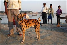 © Maciej Dakowicz Om Namah Shivaya, 19 Days, India, Photojournalism, Street Photography, Giraffe, Dog Cat, Creatures, Cats