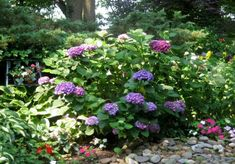 Even in the shade garden you can have color with the many varieties of hydrangeas available. Photo Gallery