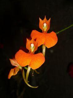 Comparettia speciosa orchid