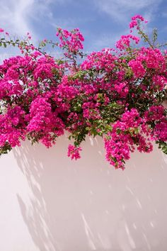 Picture of A white washed wall with bright pink bougainvillea plant growing on the top of the wall hanging down, blue sky stock photo, images and stock photography. Flower Background Wallpaper, Flower Phone Wallpaper, Flower Backgrounds, Wallpaper Backgrounds, Aesthetic Backgrounds, Aesthetic Iphone Wallpaper, Aesthetic Wallpapers, Sky Aesthetic, Flower Aesthetic