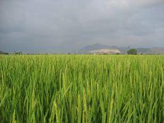 Campos de arroz bomba en la Marjal de Pego-Oliva
