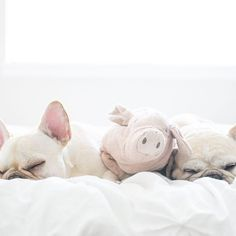 Happy #nationalpetday from your 3 piggies! #frenchie