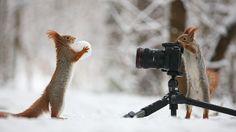 Een Russische fotograaf heeft enkele verrassende kiekjes genomen van twee eekhoorns waarbij de ene een foto lijkt te nemen van de andere die met een sneeuwbal speelt. Maar is dat wel zo?