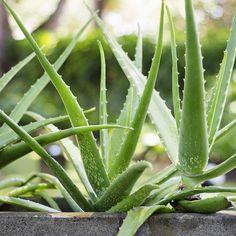 How to Divide Aloe Vera and Other Succulents Invasive Plants, Poisonous Plants, Medicinal Plants, Planting Tulips, Planting Succulents, Plantes Feng Shui, Aloe Vera, Corn Plant, Decoration Plante