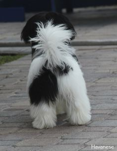 Dogs are said to be some of the best pets to keep. As a matter of fact, they are referred to as man's best friends. There are many breeds of dogs Havanese Puppies For Sale, Havanese Dogs, Dogs And Puppies, Doggies, Beautiful Dogs, Animals Beautiful, Cute Animals, Super Cute Puppies, Cute Dogs