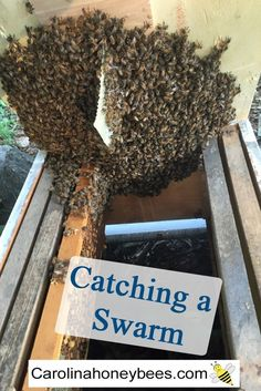 Catching a swarm of bees is fun and rewarding. You might find a swarm hanging in a tree. Or you may catch a bee swarm in a bait hive. Learn how easy it is to set up a swarm trap of your own. Honey Bee Swarm, Honey Bees, Bee Traps, Bee Hive Plans, Beekeeping Equipment, Beekeeping Supplies, Beekeeping For Beginners, Raising Bees, Bee House