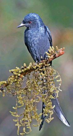 Blue bird - The beautiful Ashy Drongo bird in India. - photo by Sanjeev Ski