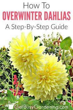 Overwintering Dahlias: How To Store Dahlia Tubers - Dahlias have bulbs that can easily be overwintered indoors and planted in your garden again next su - Planting Dahlias, Growing Dahlias, Planting Bulbs, Fall Planting, Planting Seeds, Cut Flower Garden, Beautiful Flowers Garden, Fall Flower Gardens, Flower Gardening