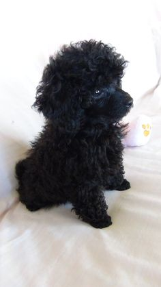 Poodle puppy love Lets call her Ella?