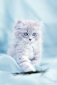 Adorable Rag Doll Kitten