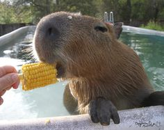 Capybaras eat corn on the cob.