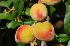 Peach Trees: Plant onion or chives underneath the peach trees to help protect the peach tree from leaf curl disease.