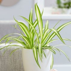 Houseplants Safe For Cats, Cat Safe Plants, Types Of Spiders, Arrowhead Plant, Air Cleaning Plants, Chlorophytum, Fast Growing Plants, Best Indoor Plants, Peace Lily