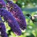 Butterfly Bush: How to Plant, Grow, and Care for Butterflybush