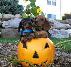 This picture pretty much defines my life! Halloween & Weenies!!! <3
