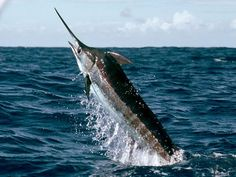 This is a blue marlin. It is usually found in the open ocean of the pacific ocean. The male fish is about 14 feet long and weighs nearly one ton. The female marlin fish is about 12 feet long and weighs about 1400 pounds. Marlin Azul, Blue Marlin, Deep Sea Fishing, Fly Fishing, Sport Fishing, Marlin Fishing, Pirates Cove, Deep Blue Sea, Beautiful Fish