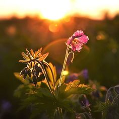 "Timo Koivisto sanoo Instagramissa: ""Midnight sun in Lapland. #flowers #midnight #sun #leviski #lapland #beauty #tiny #but #beautiful #warm"" Midnight Sun, Mountain Biking, Finland, Ski, Warm, Adventure, Landscape, Flowers, Plants"