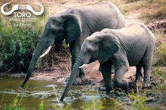 Elephants drinking @tororiverlodges. #tororiverlodges Fact of the Day: an elephant can drink up to 50 gallons (200 liters) of water a day! #elephant #facts #water #river #lodge #amazing #africa #nature #safari #wildlife #wild #animals #onsafari #bigfive #elephants #big5 #safarilife #southafrica #life #africanature #beautiful #photography #canon #drink #africanwildlife Elephant Facts, River Lodge, Fact Of The Day, Big 5, African Safari, Wild Animals, Elephants, South Africa, Canon