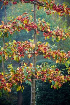 Espalier - gorgeous way to grow apples, pears and more in small spaces.Very popular in Middle Ages.