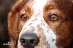 Portretfotografie Welsh Springer Spaniel