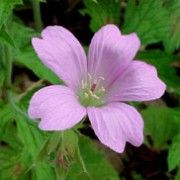 Geranium x oxonianum 'Wargrave Pink' (Geranium 'Wargrave Pink') is an evergreen perennial with a clump-forming habit. Its mid-green leaves are divided into five lobes. From early summer through to autumn it bears pale salmon-pink flowers.   Geranium x oxonianum 'Wargrave Pink' added by Shoot)