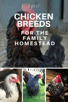 Got kids? Want chickens? Here are the 5 best dual-purpose chicken breeds for your family homestead, farm, or backyard. Friendly, good layers, good meat, winter hardy, heritage breeds!