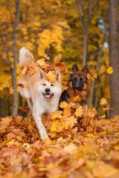 App helps you find a pal for your pup Fall Dog Photos, Fall Season Pictures, Fall Pictures, Dog Pictures, Beautiful Dog Breeds, Beautiful Dogs, Dog Calendar, Dog Wallpaper, Cat Dog