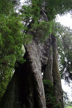 The Corkscrew Tree.  One of nature's oddities found at Prairie Creek Redwoods State Park.