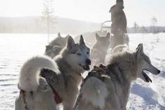 Eager huskies ready for the off