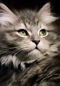 19 Interesting Facts About Cats You May Have Not Cute Cats And Kittens, Cool Cats, Kittens Cutest, Beautiful Cat Breeds, Beautiful Cats, Gatos Cats, Matou, Neko Cat, Curious Cat