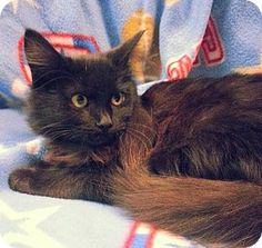 Prattville, AL - Domestic Mediumhair. Meet Bobby 21743, a kitten for adoption. http://www.adoptapet.com/pet/12178669-prattville-alabama-kitten