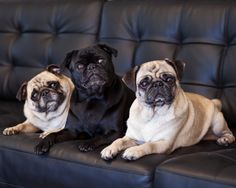 I'm sorry, there's no room for your butt on this couch.  Pug clique.