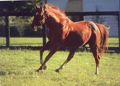Secretariat 1970 Chestnut Thoroughbred Stallion and the greatest racehorse who ever lived.