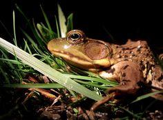 Green frog (Rana clamitans) http://davehuth.com