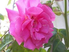 Thornless rose - love at first sight