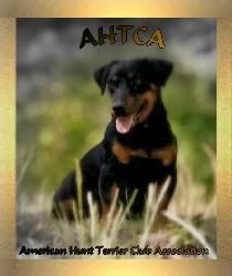 Black and tan Jack Russell, aka black and tan Hunt Terriers AHTCA