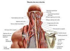 muscles,du,cou,et,du,dos,splenius,rhomboïdes,droit,supérieur,muscle,élévateur,de,la,scapula