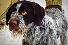 One of the best all-around dogs - the Cesky Fousek from Czech Republic. An excellent versatile hunting dog and most affectionate and loving at home.