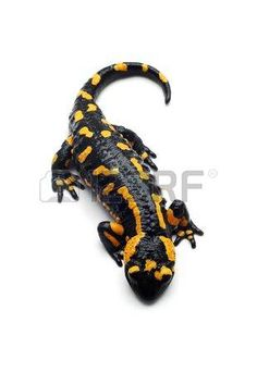 salamander%3A+salamander