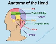 Beauty school-anatomy of the head Cool Haircuts, Trendy Hairstyles, Hair Cut Guide, Barber School, Hair Science, Head Anatomy, Hair Cutting Techniques, Diy Haircut, Cosmetology Student