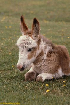Miniature Donkey....best miniature animal of all.  Donkeys are beyond sweet...and they love attention! (and never get just one, they get lonely).