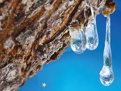 Sevgi Aşısı, sakız ağacının geleceğini kurtardı