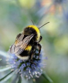 Bumble Bee on a flower Humble Bee, I Love Bees, Bees And Wasps, Bee Friendly, Cute Bee, Bee Art, Beautiful Bugs, Tier Fotos, Bee Happy