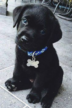 Ideas dogs and puppies for sale labrador retriever for 2019 Baby Animals Super Cute, Super Cute Puppies, Cute Little Animals, Cute Dogs And Puppies, Cute Funny Animals, Baby Dogs, Puppies Puppies, Types Of Puppies, Toy Poodle Puppies